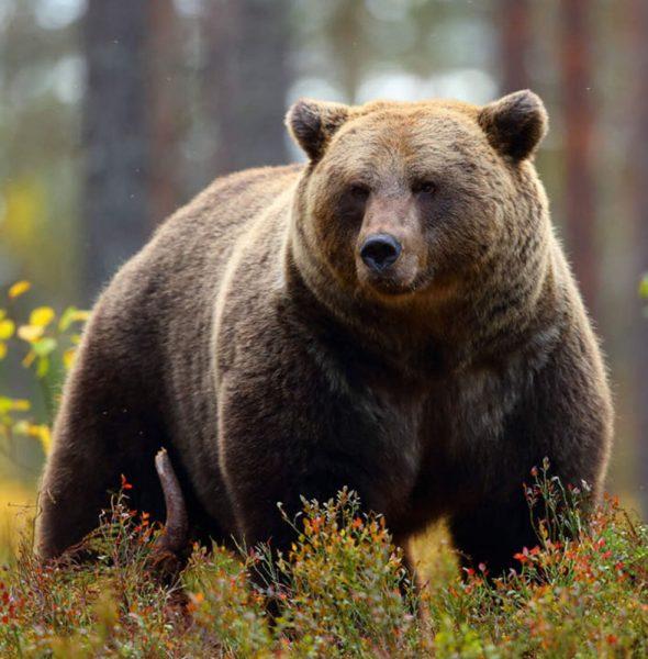 Ciné-Débat «L'Ours, une histoire d'homme»